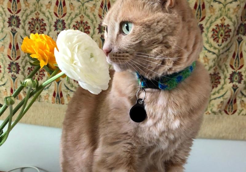 a buff orange cat sniffy orange and white flowers